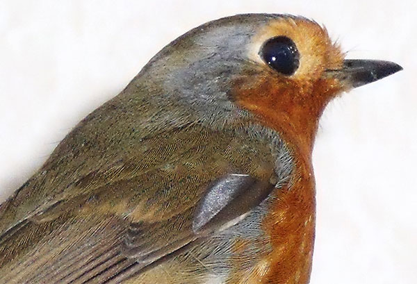 A close up of the robin