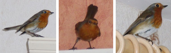 Various different angles of the Robin